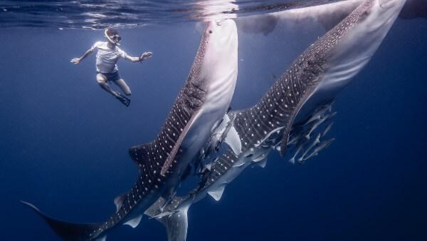 Snorkeling avec des requins-baleines en Papouasie