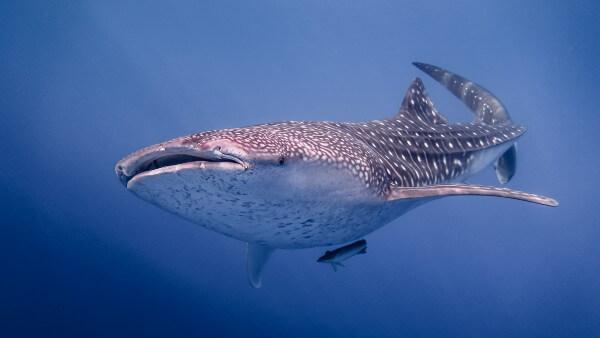 Requin-baleine en baie de Cenderawasih