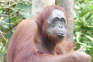 Bouton vers notre idée de circuit Orang Outan Bornéo