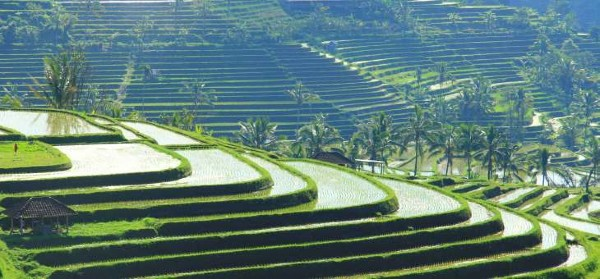 Rizières à Jatiluwih, à Bali