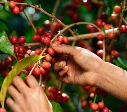 Un touriste dans une plantation de café